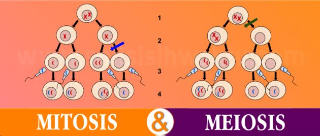 You are currently viewing √ Penjelasan Tentang Perbedaan Antara Mitosis Dan Meiosis