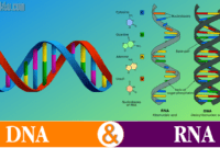 Read more about the article √ Perbedaan DNA dan RNA